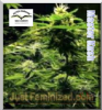 Dutch Passion Masterkush Female 5 Seeds